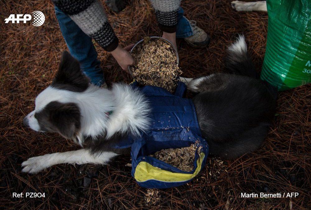 Au Chili, des chiens semeurs aident à faire renaître les forêts brûlées