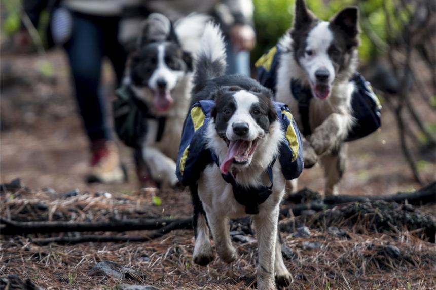 Reforestar bosques incendiados en Chile, ¡un juego de perros!